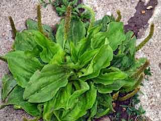 patlagina este un aliment vindecator