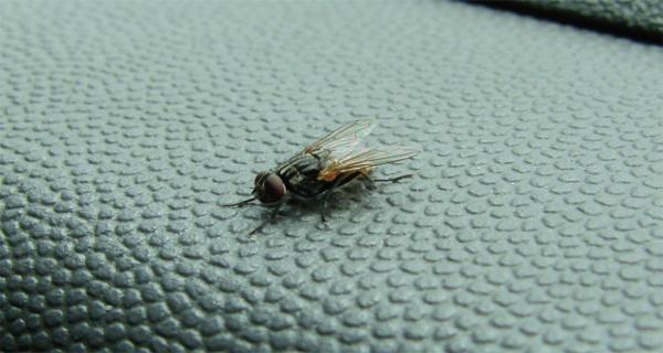 Un truc incredibil de simplu pentru a scăpa de enervantele muște