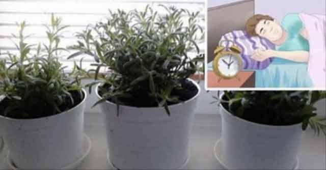 Cinci plante care alungă insomnia și purifică aerul din locuință