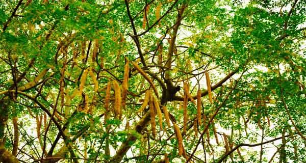 Pasionații de biologie și de nutriție spun că există un copac cu mii de virtuți pentru sănătate. Află cum se numește și care îi sunt atuurile!