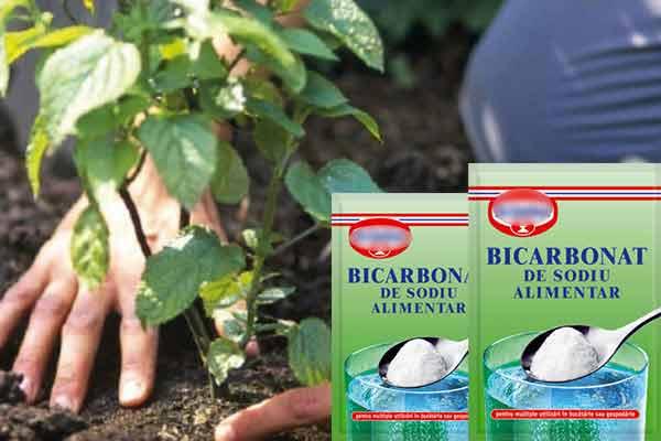 foloseste bicarbonat ca sa scapi de furnici si insecte