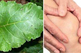 scapa de reumatism si dureri articulare folosind frunze de brusture