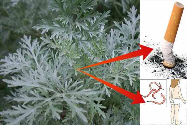 planta benefica organismului este pelinul alb