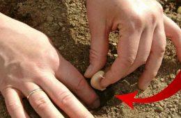 de ce sa plantezi singur usturoi
