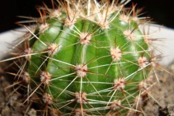 de ce este bine sa consumam cactus