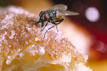 ce se intampla atunci cand o musca se aseaza pe mancarea ta