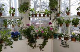 cum ingrijim florile primavara
