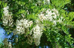 Florile de salcâm