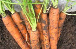 Consumă morcovi cu coajă