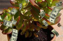 Planta banului