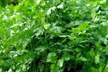 curatarea rinichilor cu plante