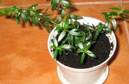 plantele care indeplinesc dorintele
