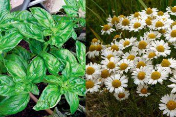 plante pentru migrene
