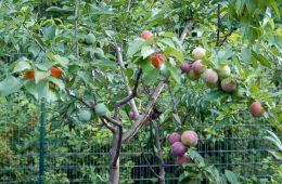 copac unic cresc 40 fructe